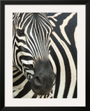 Burchell's (Plains) Zebra (Equus Burchelli), Mhkuze Game Reserve, Kwazulu Natal, South Africa Framed Photographic Print by Ann & Steve Toon
