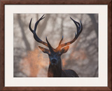 Portrait of a Red Deer Buck, Cervus Elaphus, in Winter Framed Photographic Print by Alex Saberi