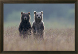 Two Brown Bear Spring Cubs Standing Side-by-side in Curiosity Framed Photographic Print by Barrett Hedges