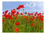 Field Of Poppies - Panoramic View Art by Melanie Viola