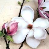 Magnolia Diva I Prints by Heather Johnston