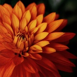 Orange Dahlia Art by June Hunter