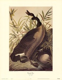 Canada Goose Art by John Woodhouse Audubon