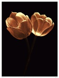 Illuminated Tulips II Prints by Ilona Wellmann