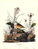 Yellow-Winged Sparrow Posters by John Woodhouse Audubon
