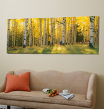 Aspen Trees in Coconino National Forest, Arizona, USA Kunst van Unknown Panoramic Images