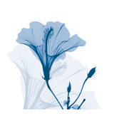 Hibiscus Chiller Posters by Albert Koetsier