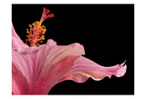 Hibiscus 1 Print by Barry Seidman