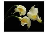 Three Calla Lillies Prints by Barry Seidman