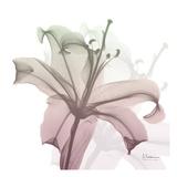 Neapolitan Lily Poster by Albert Koetsier
