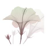 Neapolitan Hibiscus Prints by Albert Koetsier