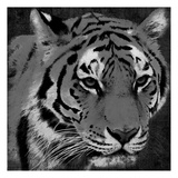 Tiger Black And White Prints by Jace Grey