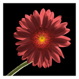 Gerber Daisy 1 Posters by Barry Seidman