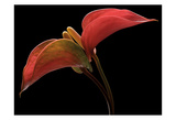 Anthurium 2 Posters by Barry Seidman