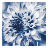Dahlia Navy 1 Posters by Suzanne Foschino