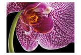 Purple Orchid 2 Print by Barry Seidman