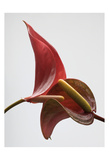 Anthurium 3 Prints by Barry Seidman