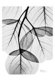 Silver Age Eucalyptus Prints by Albert Koetsier