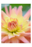 Yellow Orange Dahlia 3 Prints by Suzanne Foschino