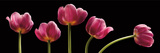 Five Tulips Poster by Barry Seidman