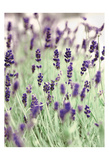 Lavenders In the Field Print by Tracey Telik