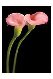 Pink Calla Lilies Poster by Barry Seidman