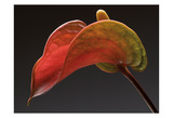 Anthurium 3 Art by Barry Seidman