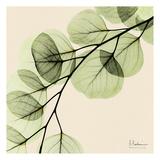 Mint Eucalyptus 1 Prints by Albert Koetsier