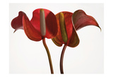 Anthurium 1 Poster by Barry Seidman