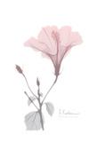 Hibiscus B49 Pink Posters by Albert Koetsier