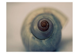 Moon Snail 2 Prints by Tracey Telik