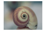 Moon Snail 1 Prints by Tracey Telik