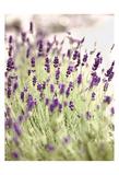 Lavender 2 Prints by Tracey Telik