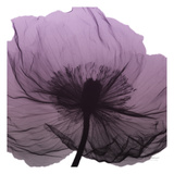 Poppy Purple Prints by Albert Koetsier