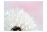 Pink Dandelion 2 Print by Tracey Telik