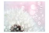 Pink Dandelion Prints by Tracey Telik