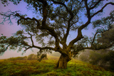 Dark Oak, Petaluma Hills, Northern California, Bay Area Trees Photographic Print by Vincent James