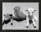 1960s Piglet Rooster Lamb Trio Leaning on Wooden Fence Pig Chick Sheep Framed Photographic Print by D. Corson