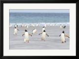 Gentoo Penguin Walking to their Rookery, Falkland Islands Framed Photographic Print by Martin Zwick