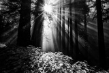 Light in the Darkness, Sun Beams and Redwood Coast Black and White Photographic Print by Vincent James