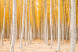 Autumn Tree World, Light Sun and Trees, Eastern Oregon Photographic Print by Vincent James