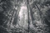 Inviting Redwoods in Fog, Redwood National State Parks Photographic Print by Vincent James