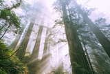 Forest Power, Light Beams, Del Norte Coast Redwoods, California Photographic Print by Vincent James