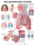 The Respiratory System Anatomical Chart Poster Photo