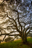Mysterious Winter Oak, Petaluma, Sonoma County Photographic Print by Vincent James