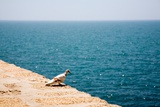 Dove on Wall by Sea Photographic Print by Felipe Rodriguez