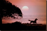 Running Horse At Sunset Stretched Canvas Print by Julie Habel