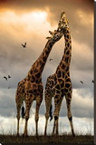 Giraffes Kissing Stretched Canvas Print