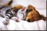 Cuddles (Sleeping Puppy and Kitten) Art Poster Print - Şasili Gerilmiş Tuvale Reprodüksiyon