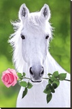White Horse (Holding Pink Rose) Art Poster Print Stretched Canvas Print